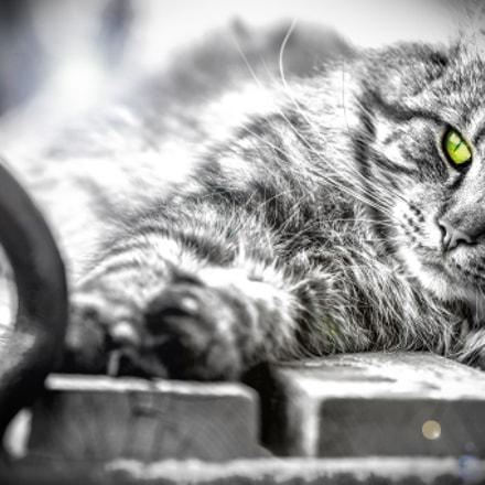 Norwegian Forest Cat  /  Norwegische Waldkatze