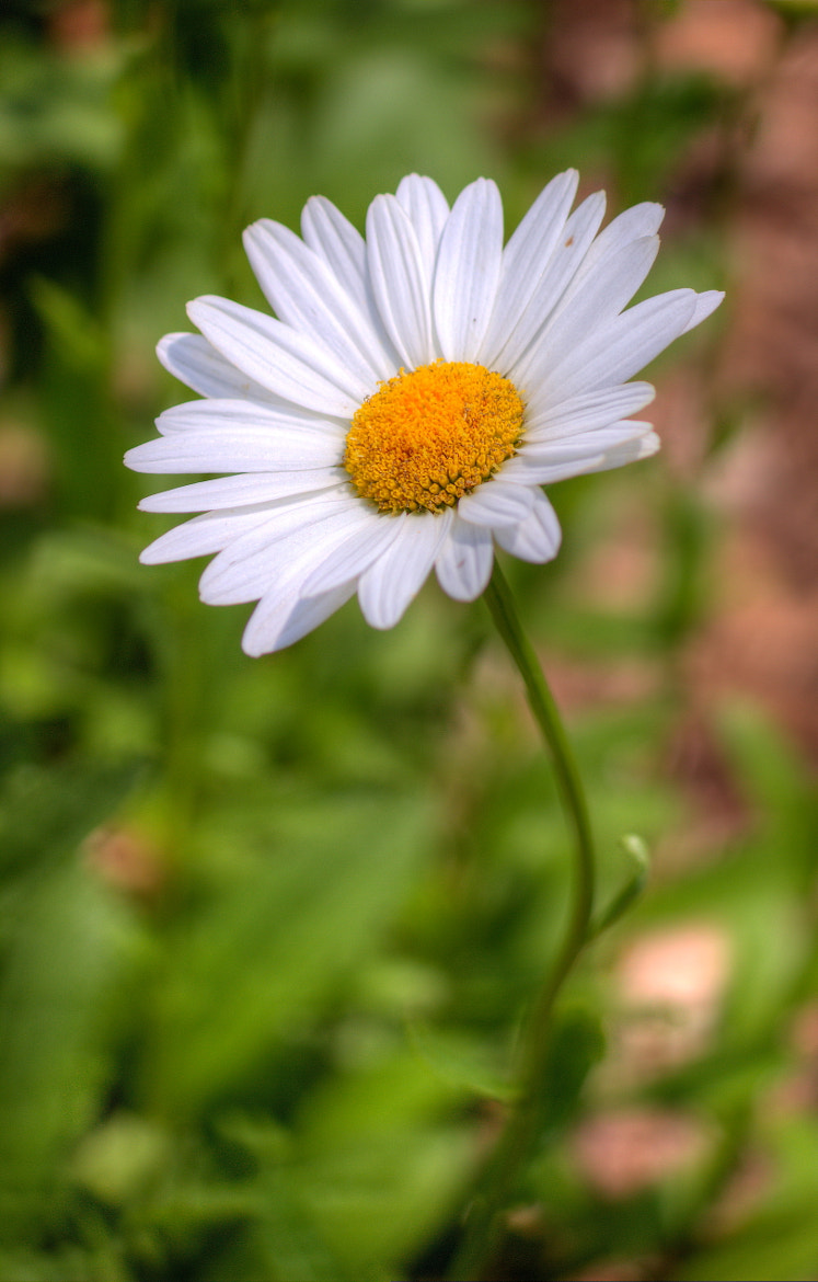 Photograph Daisy 3 - HDR by John Velocci on 500px