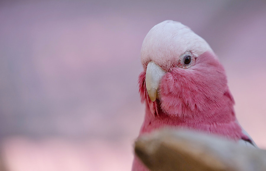 Rosa parrot ? by Benjamin Bergstedt on 500px.com