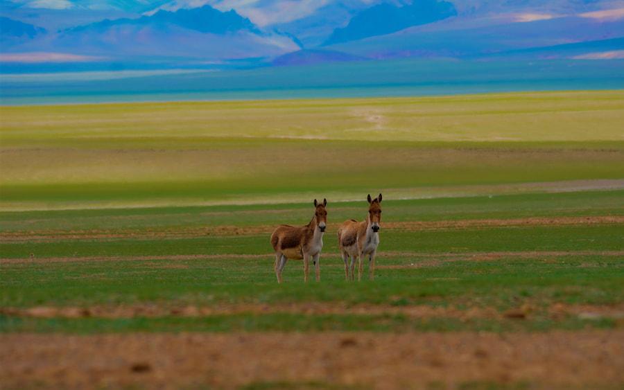 西藏阿里藏野驴(一) by 包燕平(包哥)  on 500px.com