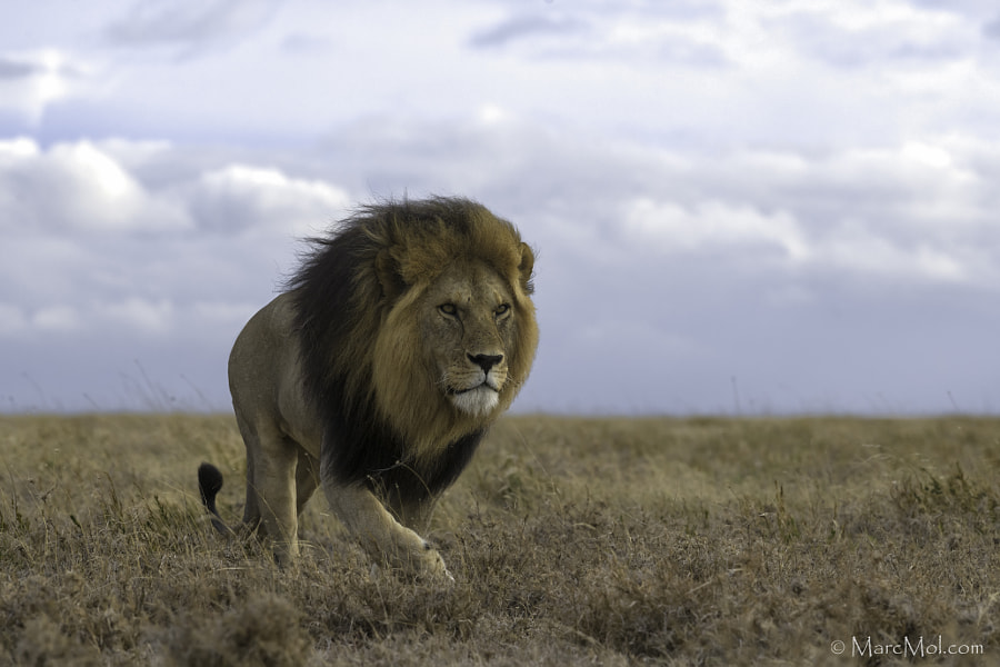 The King strides out by Marc MOL on 500px.com