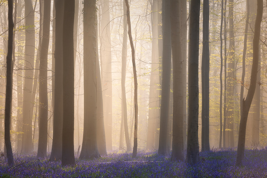 Forest of Halle, Belgium by Sven Broeckx on 500px.com