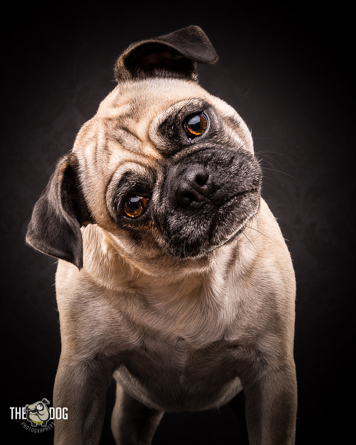 Pug Life by Adam Jackman-Moore on 500px.com