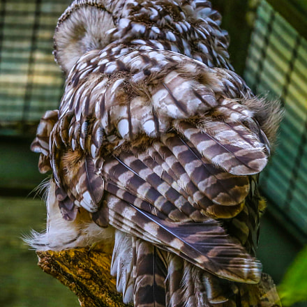 Brown/White Owl