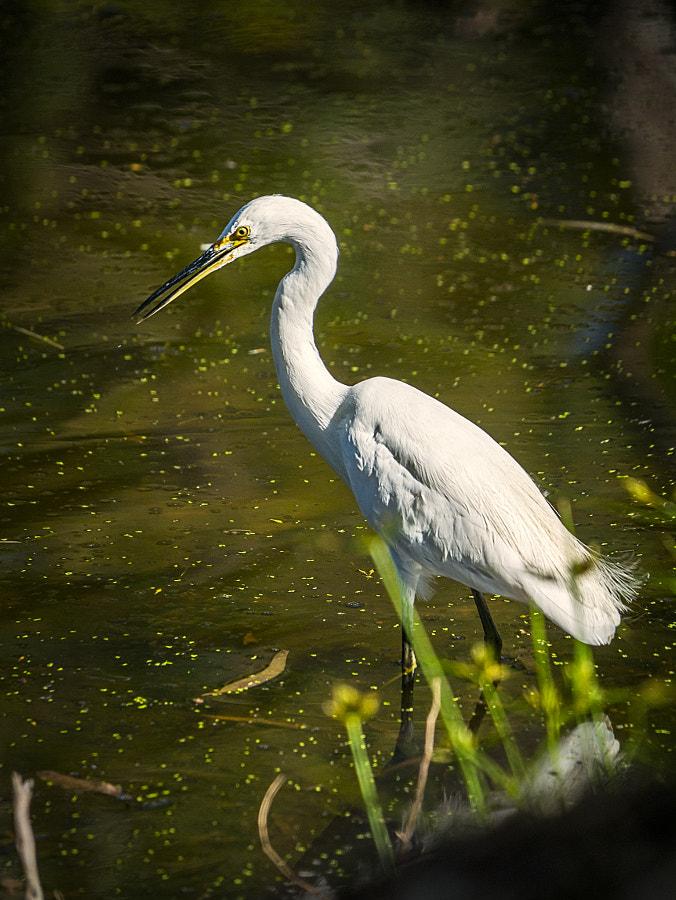 Little Egret by Paul Amyes on 500px.com