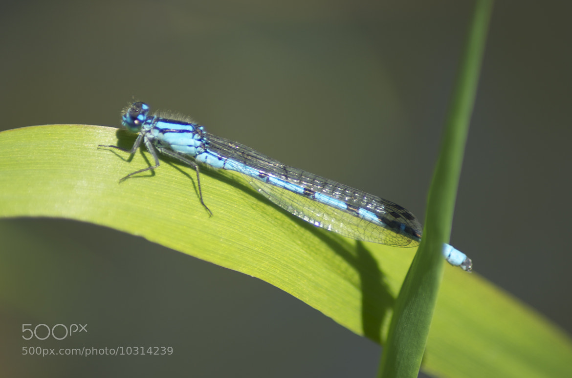 Photograph Damsel Fly by julian john on 500px