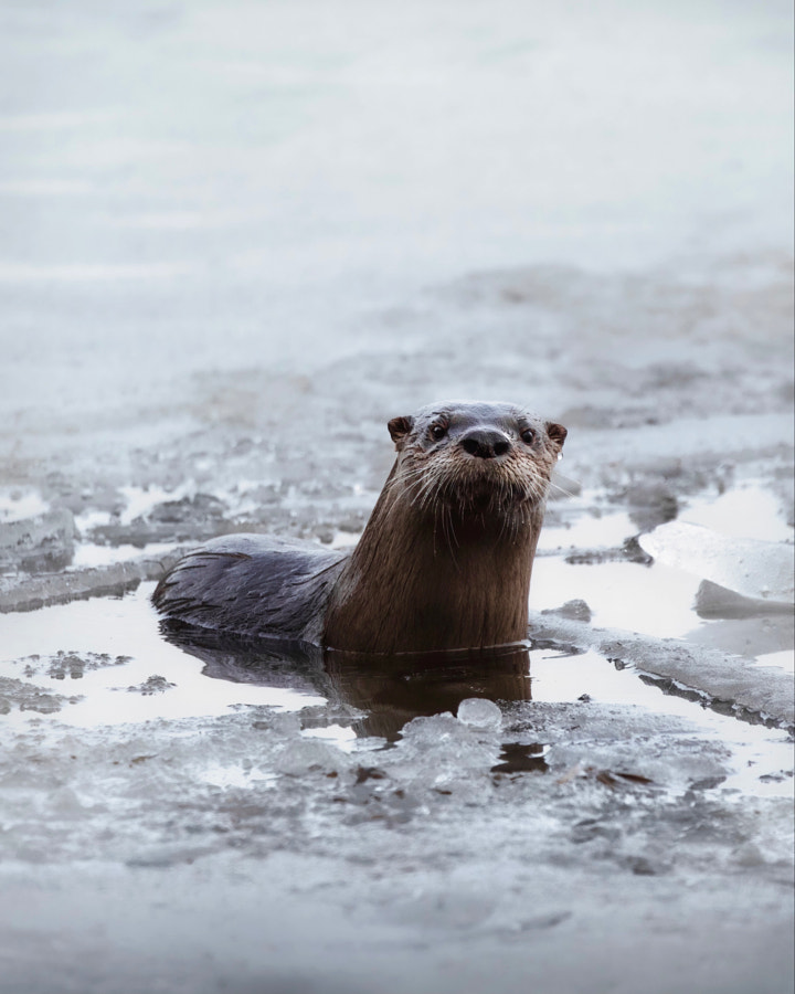River Otter Winter Portrait by Seth Macey on 500px.com