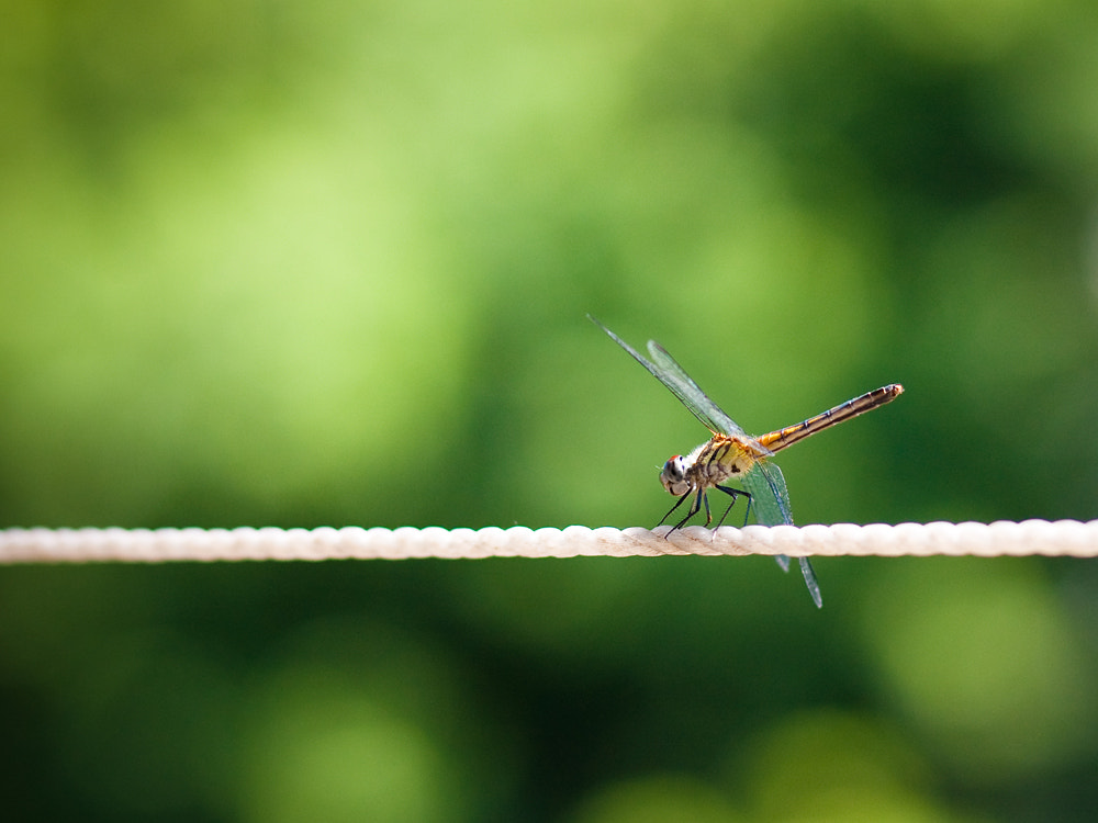 Photograph Dragonfly by Jamin G on 500px