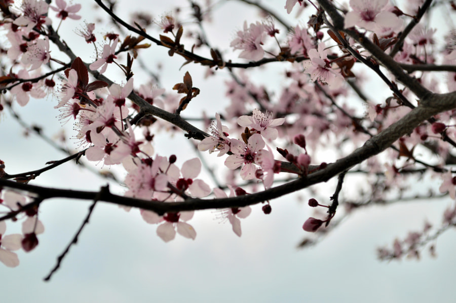 Photograph Spring Plum Cherry Blossoms by Papanikolaou Joanna on 500px
