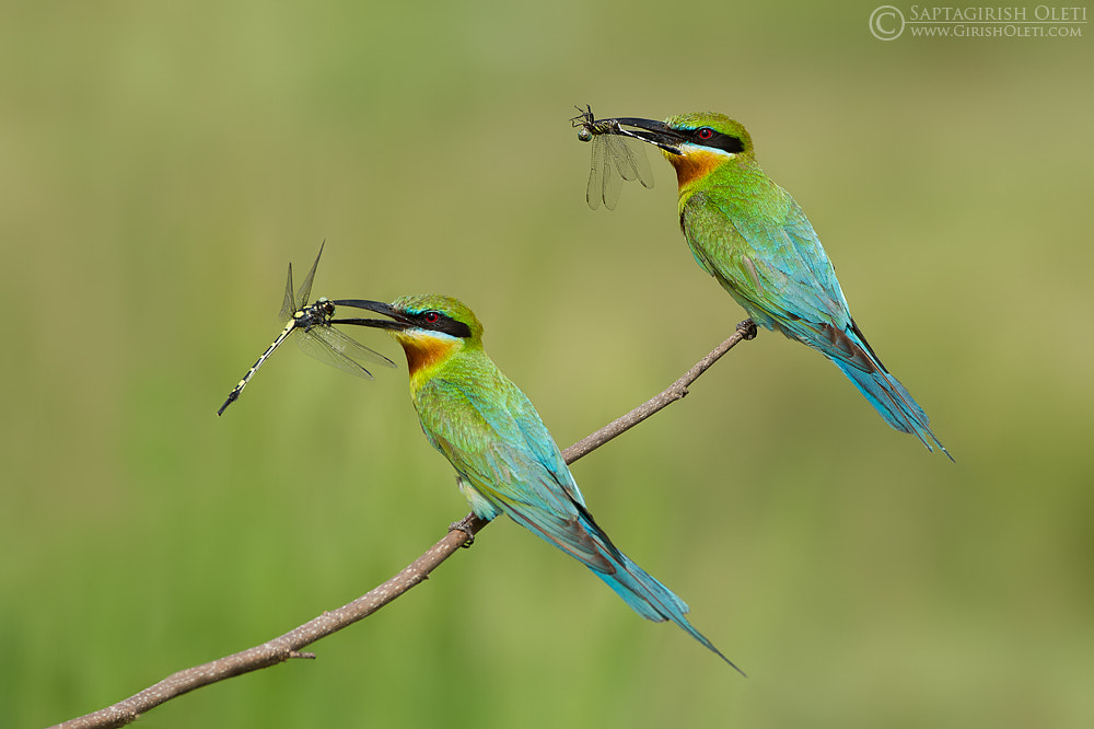 Photograph Blue tailed Bee eater by Saptagirish Oleti on 500px
