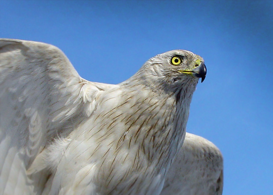 Photograph White hawk by Snow Bear on 500px