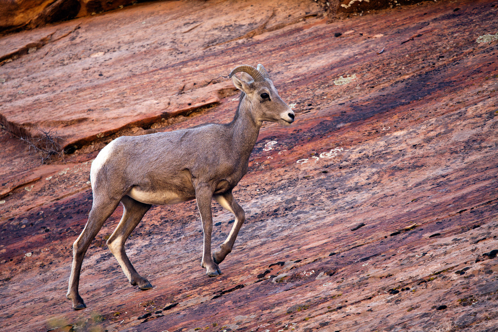 Photograph Eastside Ewe, Zion NP by Greg Clure on 500px