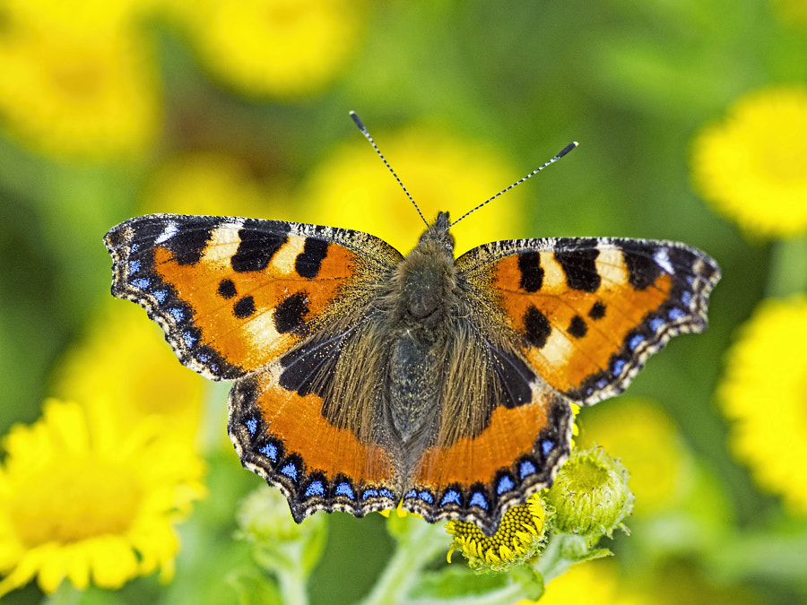 Photograph Small Tortoiseshell butterfly by Peter Atkinson on 500px