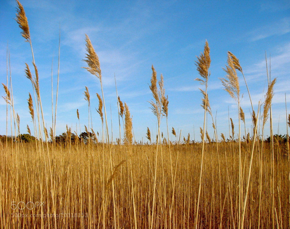 Photograph Amber waves of grain by Laura Carlo on 500px
