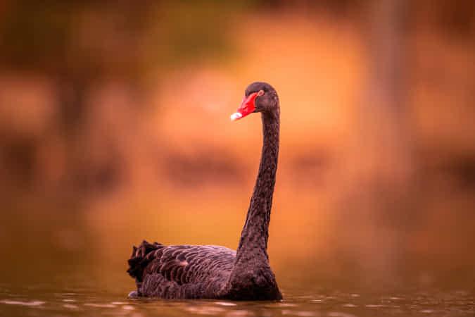 Black Swan in Autumn by John S