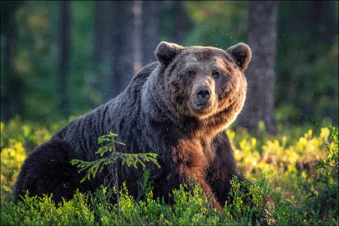 Brown Bear by Georg Scharf