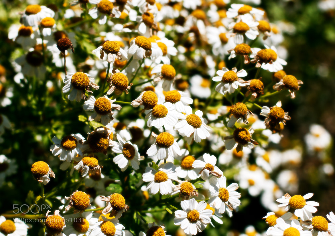 Photograph Camomile Calm by Fincher Trist on 500px
