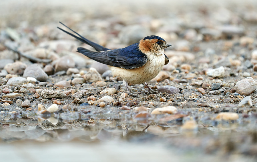 Cecropis daurica, Daurian swallow collecting mud to build its nest by Eduardo Muñoz on 500px.com