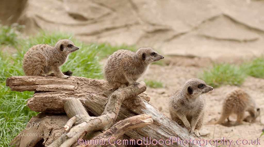 Photograph Meerkat Mob by Gemma Wood on 500px