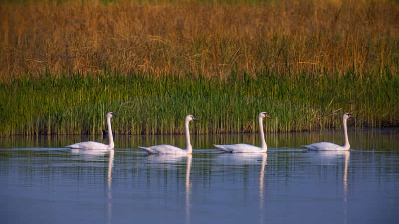 the Swan family by lilychina