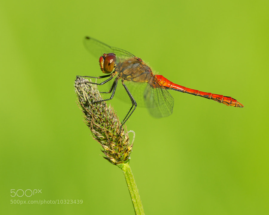 Photograph Ruddy Darter by Erik Veldkamp on 500px