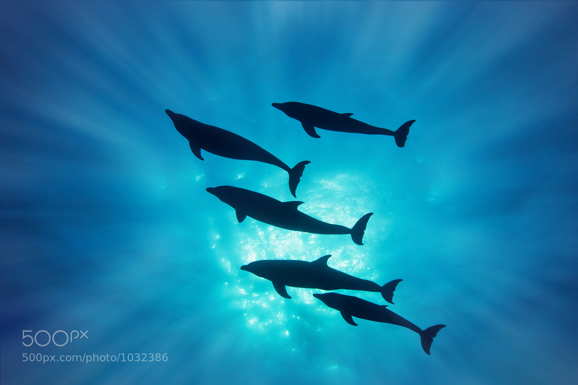 Photograph Pod of Bottle-nose Dolphins by Tony Rath on 500px
