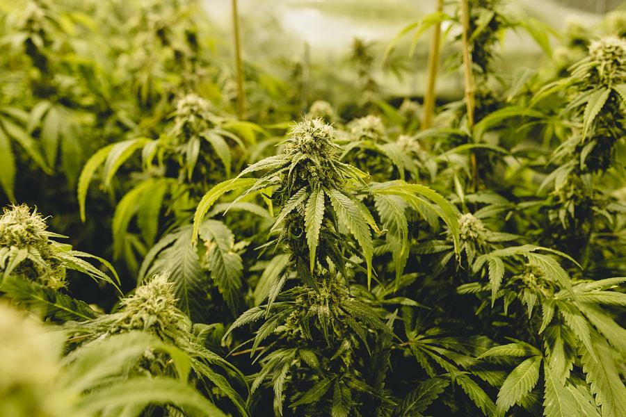 Cannabisfabriek door Zak Nuttall op 500px.com