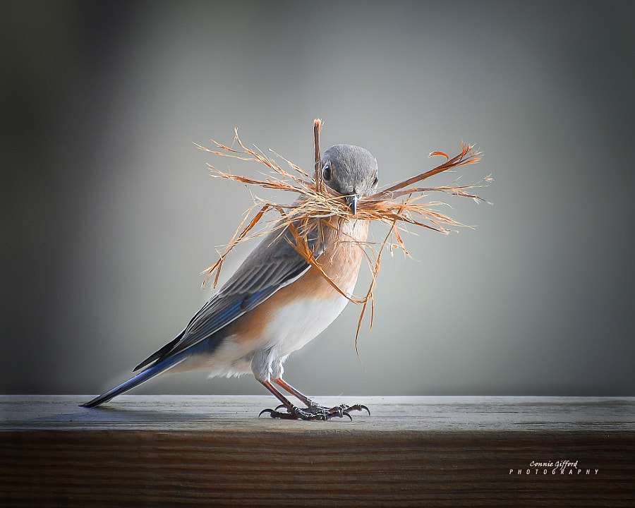 Eastern Bluebird by Connie  Gifford on 500px.com