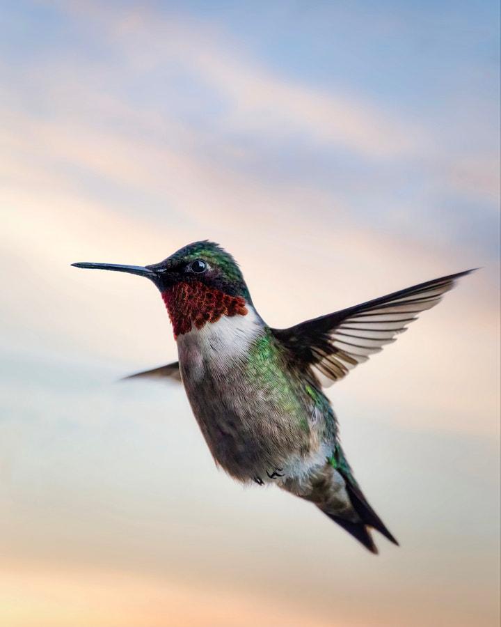Ruby Throated Hummingbird in Flight by Seth Macey on 500px.com