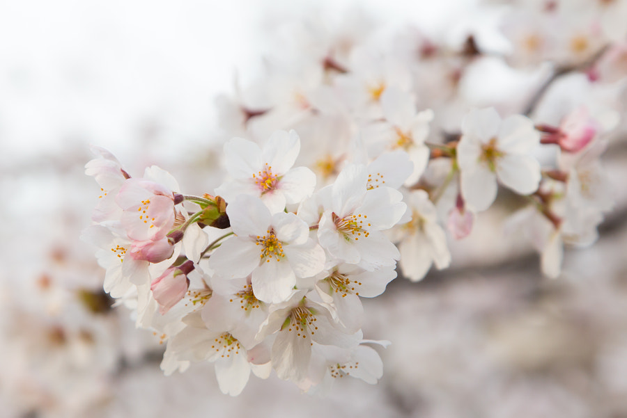 Cherry blossom in Japan 2015 by Nattawat Chanthaphan on 500px.com