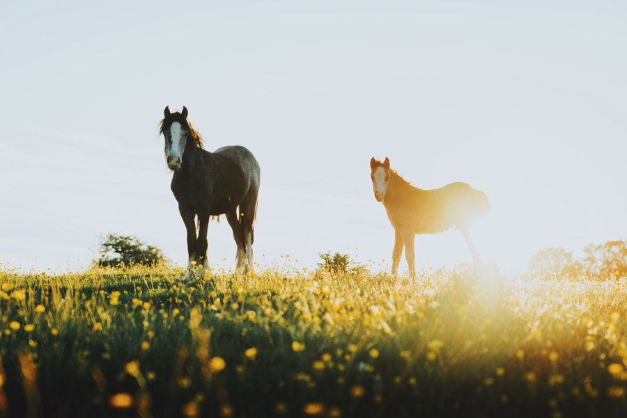 Sunset Horses  by Daniel Casson on 500px.com