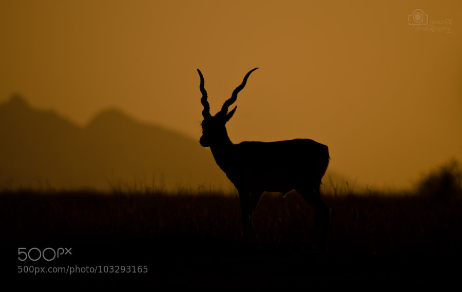 Black buck at sunset