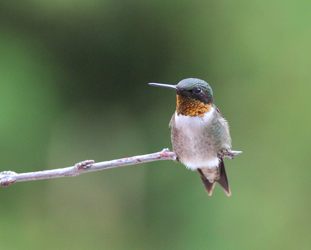 Photograph resting hummingbird by H Singh on 500px