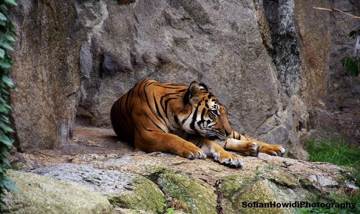 Photograph tiger by Sefo HewiDi on 500px
