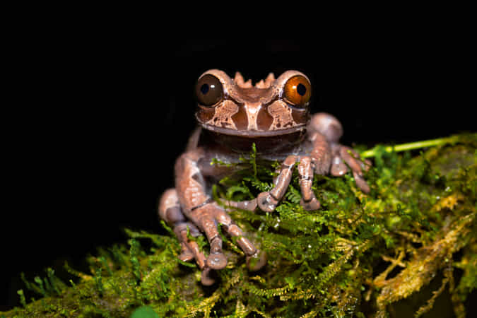 Spiny-headed tree frog by Milan Zygmunt