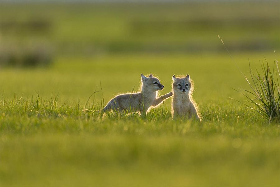撩——沙狐 Fox by 红红视界  on 500px.com