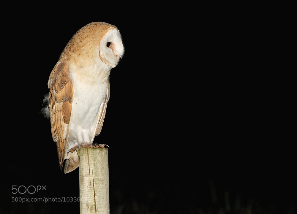 Photograph Barn Owl ( Tyto alba ) by Kevin  Keatley on 500px