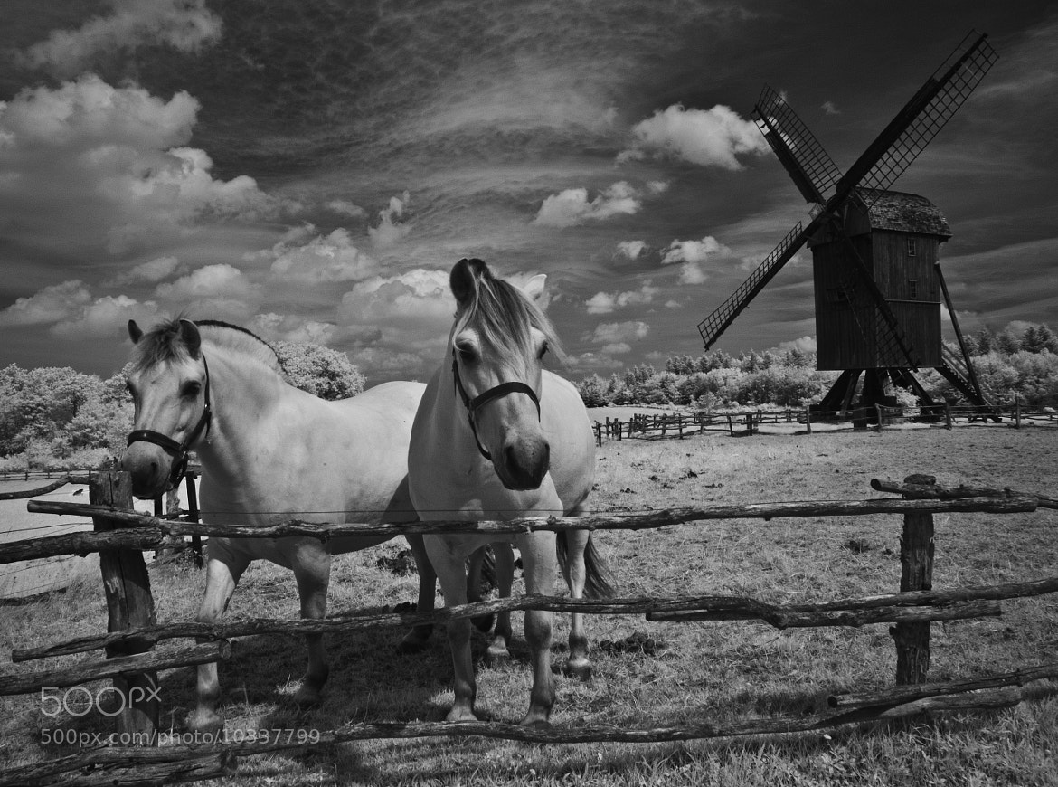 Photograph Horses at the old windmill by Daniel Hoffmann on 500px