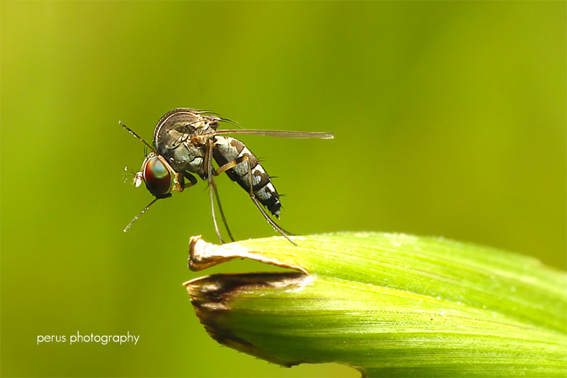 Photograph Long Leg Fly by perus  on 500px