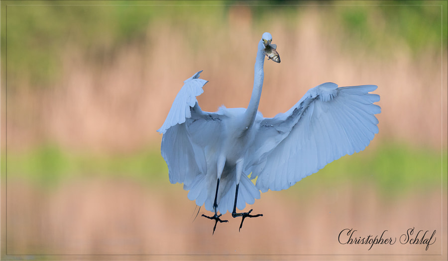 Great egret  by Christopher Schlaf  on 500px.com