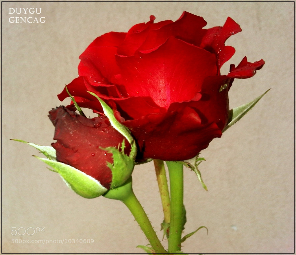 Photograph Red Roses by Duygu Gençağ on 500px