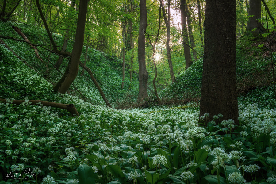 The valley of wild garlic by Martin Podt on 500px.com