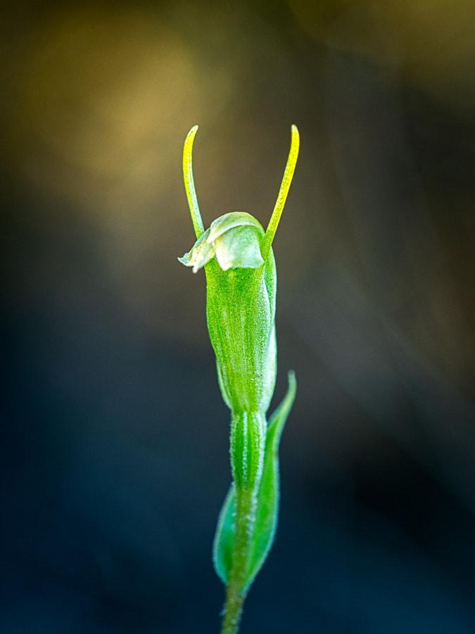 Hairy-stemmed Snail Orchid by Paul Amyes on 500px.com