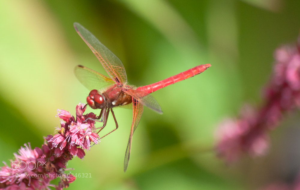 Photograph Orange Dragonfly on Pink Flowers 1 of 2 by Orlin Bertsch on 500px