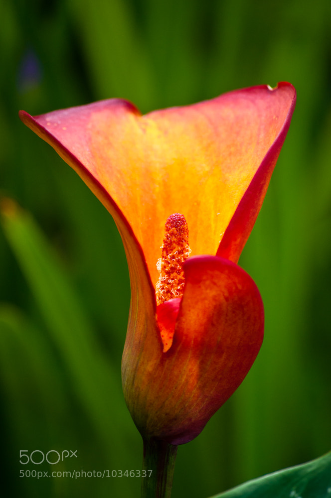 Photograph Calla Lily Split to the Core by Orlin Bertsch on 500px