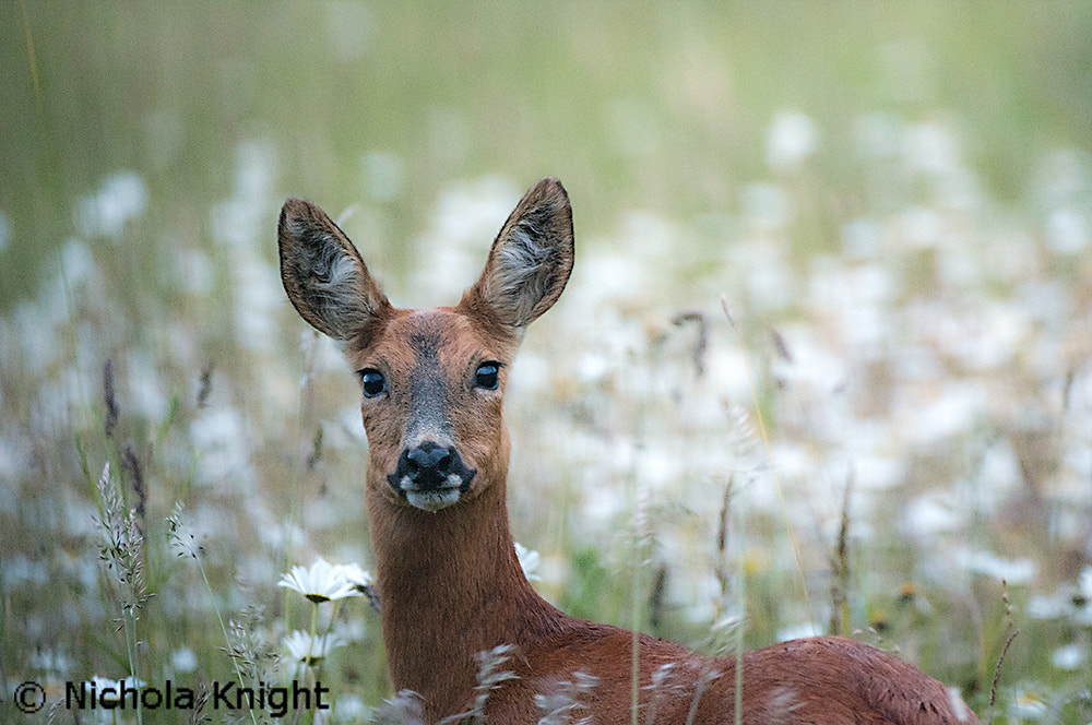 Photograph Roe Deer (Capreolus capreolus) by Nichola Knight on 500px