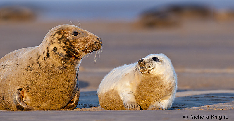 Photograph photo Grey seals (Halichoerus grypus) by Nichola Knight on 500px