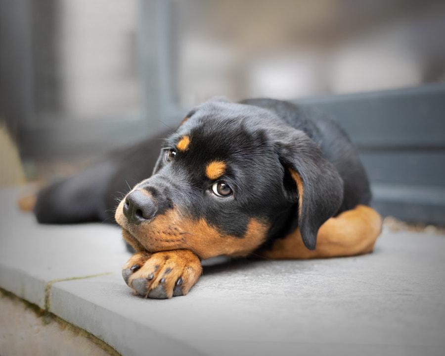 Rottweiler Puppy by Amie Barron on 500px.com