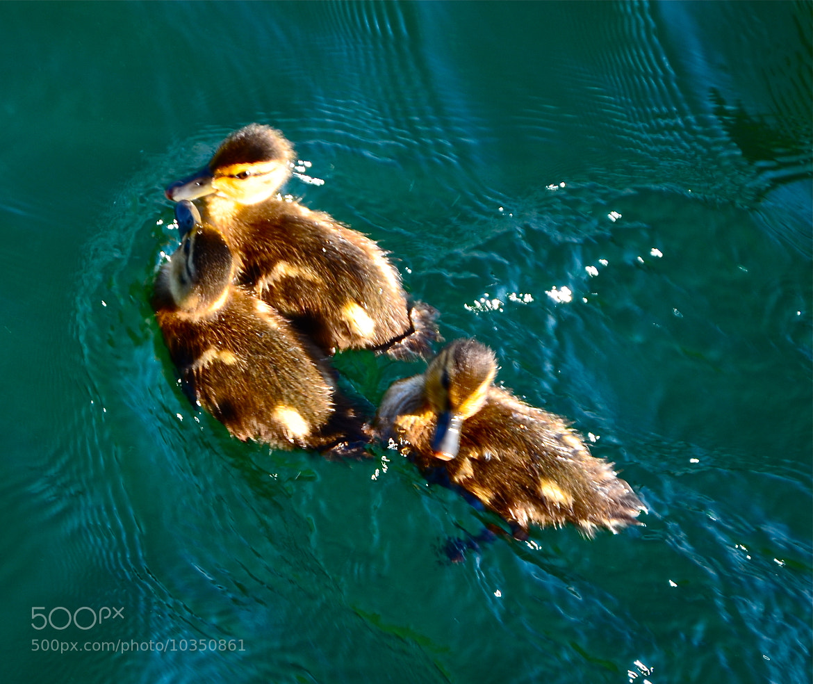 Photograph 0051 Ducklings by Matthias F on 500px
