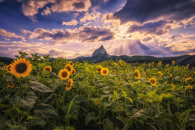 Summer with sunflowers by Tiger Seo